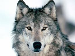 Photo of a wolf: