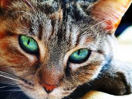 Cat Creation Template Brown-cat