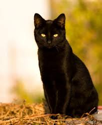 Into The Wild: A Warrior Cats RP (ANYONE CAN JOIN!!) Black-cat