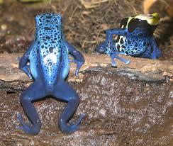 external image Poison_Dart_Frogs_001.jpg
