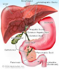 the gallbladder contracts,