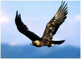 Giant Eagles (Improv