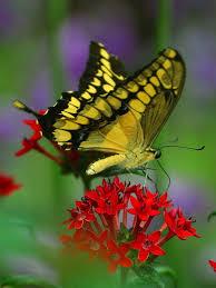 VIII LEKCIJA Leptir-rasirehih-krila-slika