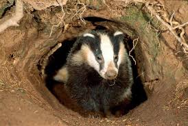 Tuberculosis and Badgers: