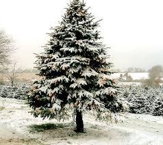 عکس برف روی درخت کاج