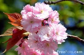 گل صورتی بهاری