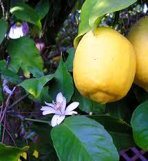 photo citron