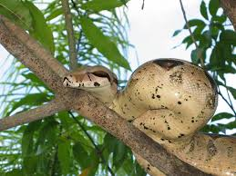 the very rare mango boa
