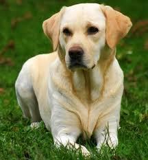 de perros labradores