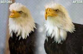 The beak let's this Eagle,