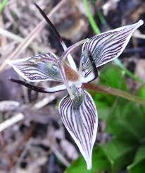 scoliopus wikipedia