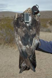 golden eagles fly far and wide in the mojave
