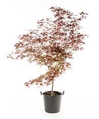 Maple Tree Symbolism by Bloodgood Japanese Maple