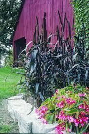 13 terrific tall grasses hgtv