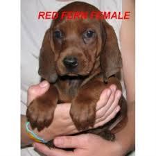 bluetick coonhound oregon redfern redbones redbone coonhound breeder in waldron arkansas