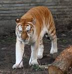 File:Golden tiger 1 - Buffalo Zoo.jpg - Wikimedia Commons