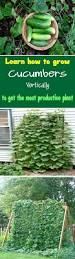 Vertical Garden Vegetables by Best 25 Cucumber Plant Ideas On Pinterest Vegetable Garden Tips