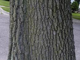 White Oak Bark Albion Trees Black Oak