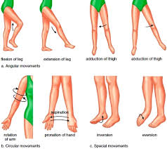 synovial joints joints articulations fibrous joints