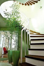 tall bamboo houseplant indoor plant pinterest houseplant