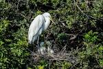 Great-Egret-Ardea-alba-with-chicks-The-Rookery-Venice-13-010291.vv ... - Downloadable