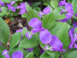 Image result for Polygala paucifolia