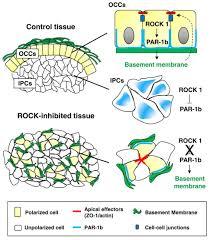 backyard rock1 directed basement membrane positioning