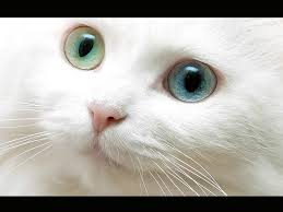 اجمل قطط العالم Images?q=tbn:ANd9GcQ68hJ6HL4xs89LdbulHcJsaoCofQK2nfRsq2MowYv2SdKGhnk9