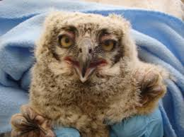 baby owl finds its way back to the nest with a little help