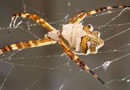 Argiope Argentata - Bild \u0026amp; Foto von Lilo Methfessel aus Spinnen ...