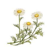 Liste de plantes pour les soins Images?q=tbn:ANd9GcQ7K-UIKHoQUevJzDRsXkMzt-q3DCNMyWxn9SYJ5-jZZxwUM4lAUARG1mjq