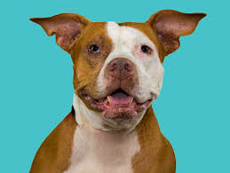 american pitbull terrier for sale in dallas texas the love pit rescue dfw pit bull rescue