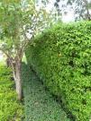 รั้วต้นโมก…แนวรั้วสีเขียวสบายตาหอมฟุ้งจรุงใจ | HomeIdea.