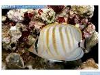 Image result for Chaetodon multicinctus