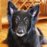 belgian sheepdog breeders in texas texas belgian sheepdog rescue u2015 adoptions u2015 rescueme org
