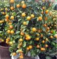 Best Kumquat (Cumquat) Trees for Your Location | Grow Citrus: All ...