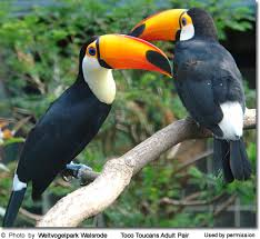 toco toucan images?q=tbn:ANd9GcQ