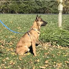 belgian shepherd uk breeders dutch shepherd