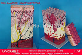 Structure Of Human Anatomy Human Skin Tissue Structure Enlarged Model Of Hair Follicle Human