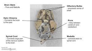 Sheep Brain Anatomy Game Sheep Brain Dissection Lab Youtube