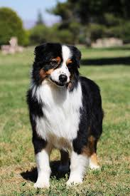 australian shepherd queen creek az narita farms aussies willcox az