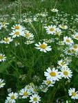 <b>Anthemis</b> arvensis, Somerset