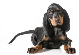 bluetick coonhound puppies for sale in ohio black and tan coonhound puppies for sale akc puppyfinder