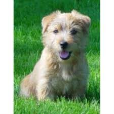 bluetick coonhound oregon jackpot kennels norfolk terrier breeder in junction city oregon