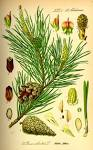 File:Illustration <b>Pinus</b>