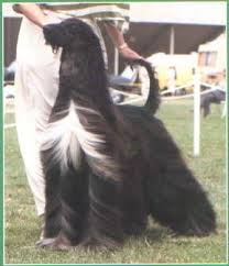 afghan hound long haired dogs pahlavi rhythm of the night ahi afghan hound pedigree database