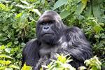 Image result for Gorilla beringei