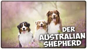 australian shepherd qualities der australian shepherd im rasseportrait 5 julistierwelt aussie