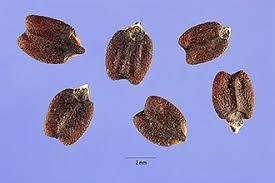 Propiedades de la Chía (Salvia Hispánica) para la salud humana. Images?q=tbn:ANd9GcQK51RE3IdNFQUKEm7qH6kBXZBIYL0082tEVaMenD7ct9IVK1r9Sw