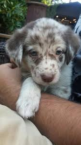 6 month old mini australian shepherd the aussiedor u2013 australian shepherd labrador puppies aussiedoodle